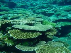 サンゴの群生!