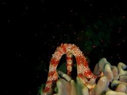 サンゴより濃い色の粒々でした♪ 水槽でなく、海中で見れたなんてラッキー!!